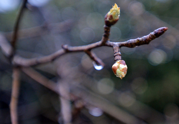 Danvers:  The Endecott Pear Tree, the oldest living fruit tree in America sends out new buds as spring arrives in Danvers.  photo by Mark Teiwes / Salem News