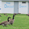 Hamilton: Geese at feed at Patton Park.  The town is looking into using dogs, chemicals or other methods to get rid of the geese.  photo by Mark Teiwes /  Salem News