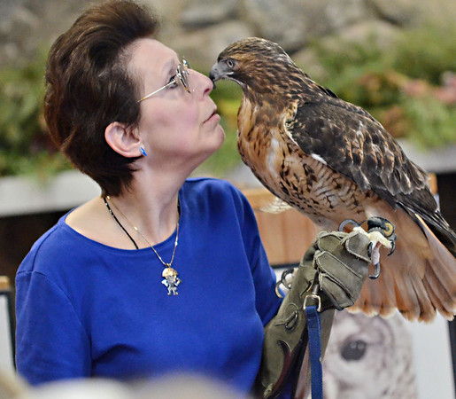 Ipswich:  Julie Anne Collier of Wingmasters and a four pound female red tailed haw rub noses during a presentation at the Ipswich River Wildlife Sancuary.  photo by Mark Teiwes  / Salem News