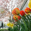 Beverly: Montserrat photo student Erin Patterson of Beverly walks amongst spring flowers on Federal Street.  photo by Mark Teiwes