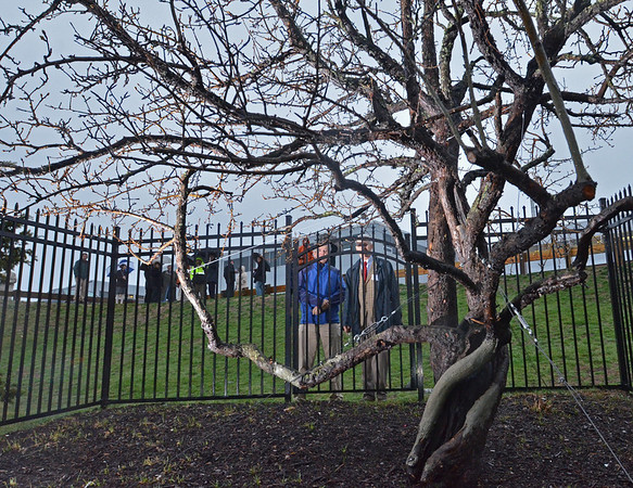 Danvers: John Endicott of Litchfield CT, left, and William Endicott from North Andover, now living in Bethesda MD look at the Endecott Pear Tree, the oldest living fruit tree in North America. It was planted in Danvers almost 400 years ago.   photo by Mark Teiwes / Salem News