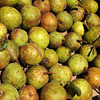 Danvers:<br /> Some of the pears from the oldest, continuous fruit bearing tree in the nation.<br /> Photo by Ken Yuszkus, The Salem News, Monday, September 30, 2013.