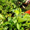 "Beverly:<br /> Jack Hunter harvests kale in one of the gardens at the Centerville School. As part of the ""Be Healthy Beverly"" initiative, the Greater Beverly YMCA, Beverly Public Schools and horticultural professionals from Green City Growers of Somerville, Mass., showcased a new pioneering program that teaches kids how to grow their own vegetable garden. <br /> Photo by Ken Yuszkus, The Salem News, Thursday, September 19, 2013."