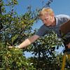 Danvers:<br /> Richard Grant picks pears from the oldest, continuous fruit bearing tree in the nation while on a step ladder.<br /> Photo by Ken Yuszkus, The Salem News, Monday, September 30, 2013.
