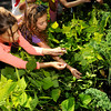 "Beverly:<br /> Amelia Massa, left, and Klea Gjergji harvest basil in one of the gardens at the Centerville School. As part of the ""Be Healthy Beverly"" initiative, the Greater Beverly YMCA, Beverly Public Schools and horticultural professionals from Green City Growers of Somerville, Mass., showcased a new pioneering program that teaches kids how to grow their own vegetable garden. <br /> Photo by Ken Yuszkus, The Salem News, Thursday, September 19, 2013."