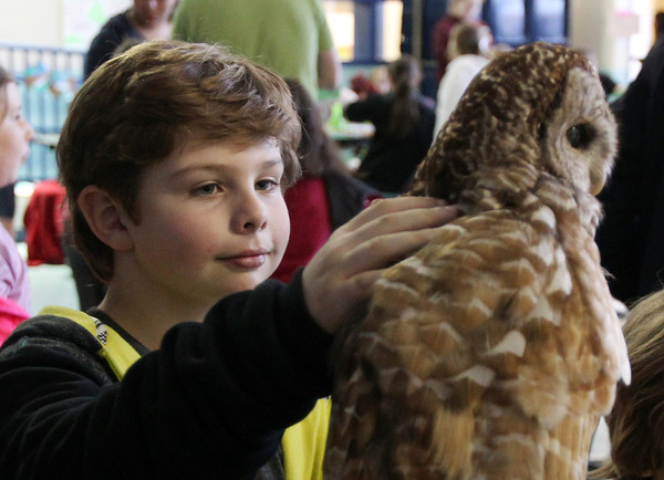 Carlton School third grader Ronan Eaton, 9, closely examines an owl brought by Cori Brauer from the Mass Audubon Society during the Carlton School's 3rd Annual Earth Day Fest in the cafeteria on Thursday evening. In addition to crafts and games, Ward Two Councilor Heather Famico and Ward Six Councilor Beth Gerard served as two judges for a recycled art competition and Whole Foods Market and Mass Auduban set up table to share some information with the students. DAVID LE/Staff photo. 4/17/14