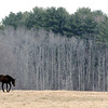 Ken Yuszkus/Staff photo: Hamilton: A horse roams a pasture off Bay Road in Hamilton.