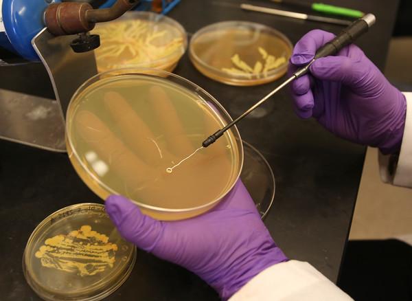 KEN YUSZKUS/Staff photo.     Artist Maria Penil Cobo swaps the petri dish of agar with bacteria to create her art.     04/14/16