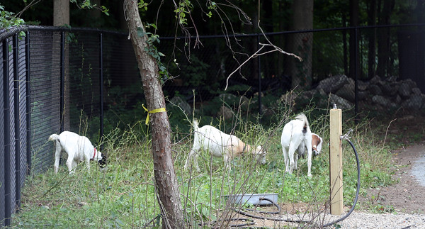 DAVID LE/Staff photo. The Town of Danvers has brought in goats to help clear vegetation at the new Danvers Dog Park. 8/31/16.
