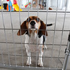 Bella, a beagle, peeks through a fence in the inside area at the new dog training business, Loyal Canines, Thursday, July 28, in Peabody.