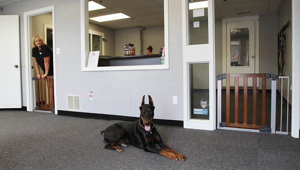 Secretary Faye Kolhonen watches as a doberman pinscher stays put Thursday, July 28, in the lobby of Loyal Canines in Peabody.