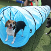 Bella, a beagle, walks through a tunnel Thursday, July 28, at Loyal Canines in Peabody.