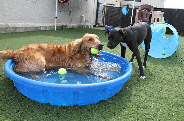 Maddie, a golden retriever, and Jack, a pit bull mix, check out the water at the new dog training business, Loyal Canines, Thursday, July 28, in Peabody.