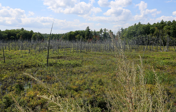 HADLEY GREEN/Staff photo<br /> Emerson Bog off route 114 in Middleton will possibly be turned into a reservoir in the future. 8/28/17