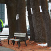 A young boy runs past the signs posted on the pine trees at the car barn lot at the corner of Arbor and Main Streets in Wenham on Thursday afternoon. The town is proposing to cut them down. DAVID LE/Staff photo 2/27/14