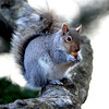 Ken Yuszkus/Staff photo: Beverly:  A squirrel sits on a branch eating his dinner at Lynch Park.