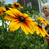 KEN YUSZKUS/Staff photo. Marilyn Bommer weeds her daughter's garden on Lothrop Street in Beverly where large black-eyed susans grow.  7/15/14