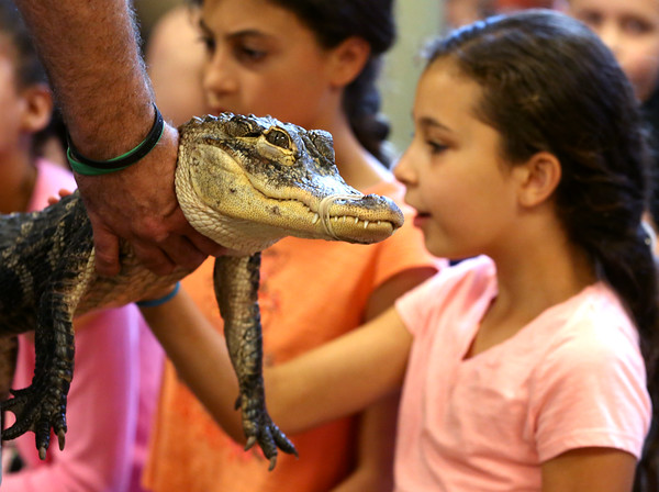 KEN YUSZKUS/Staff photo.    The audience got to touch Ally the alligator at the Curious Creatures' presentation held at the Peabody Institute Library. Amelia Stewart is on the right.   07/07/16