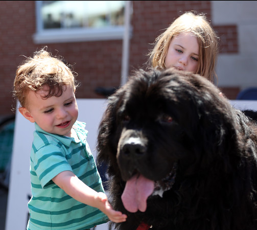 """DAVID LE/Staff photo. Two-year-old William Kurth, of Beverly, pets """"Henry"""" a Newfoundland wandering around the Beverly Arts Fest with his owner Nick White. 6/18/16."""