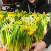 Ken Yuszkus/Staff photo: Beverly:  Tom Beaver gathers some flowering daffordils at The Leonhards' greenhouse. The flowering daffordils are a sure sign of spring which arrives on Thursday.