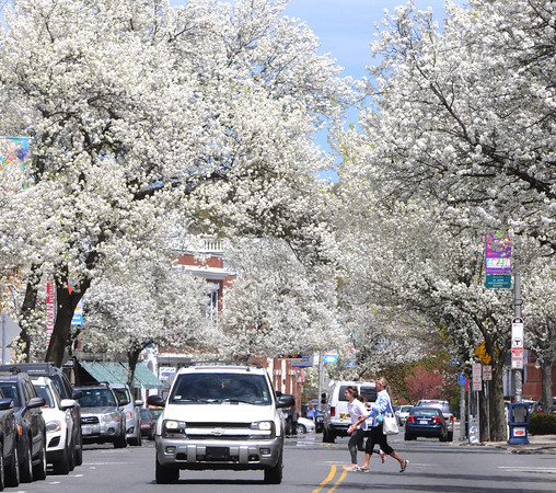 KEN YUSZKUS/Staff photo. The pear blossoms grace Cabot Street in Beverly       5/8/14
