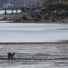KEN YUSZKUS/Staff photo.    People dig the mud flats of Collins Cove in Salem.      05/12/16