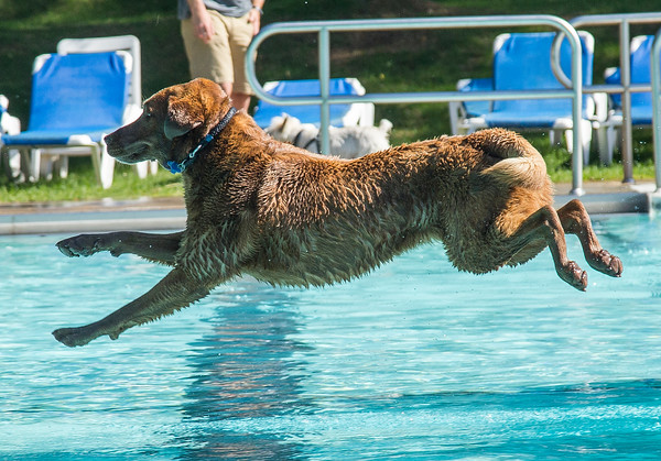 PARKER FISH/ Photo. Moses, a six year old chocolate lab, leaps through the air to chase a ball during the first ever Doggie Dip at the Jewish Community Center of the North Shore. 9/17/16