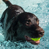 PARKER FISH/ Photo. Sam, a six year old chocolate lab, retrieves a ball from the pool at the Jewish Community Center in Marblehead. 9/17/16