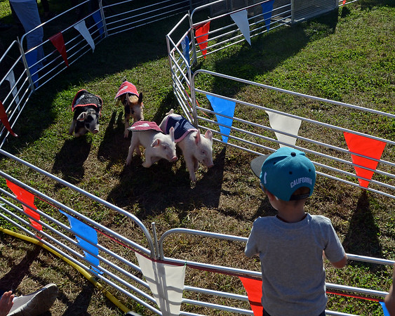 RYAN HUTTON/ Staff photo<br /> The pigs of Swifty Swine Racing speed around the first turn on Monday at the Topsfield Fair.