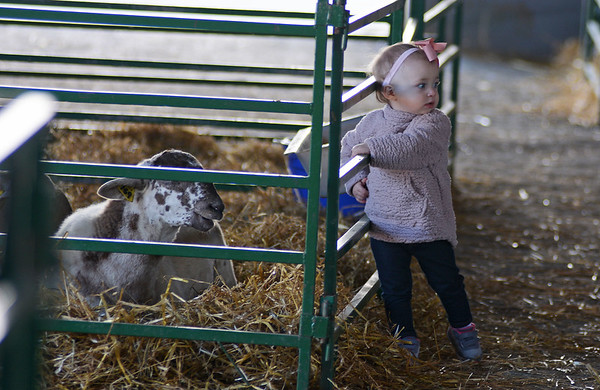RYAN HUTTON/ Staff photo<br /> Arden Praplaski, 14 months, of Malden, looks around before reaching to pet a sheep in the livestock building of the Topsfield Fair on Monday.