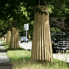 KEN YUSZKUS/Staff photo. The trees are wrapped for construction on Liberty Street in Danvers.  9/3/14