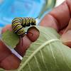 KEN YUSZKUS/Staff photo.  A monarch catapillar crawls on a leaf of milkweed.     9/2/15.