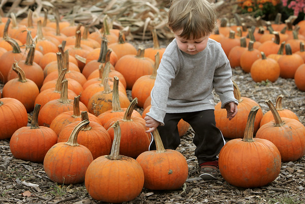 KEN YUSZKUS/Staff photo.   Nikolas Nelson, 1 1/2, of Wakefield, sorts through the pumpkins at Brooksby Farm in Peabody the day before autumn begins.   9/22/15.