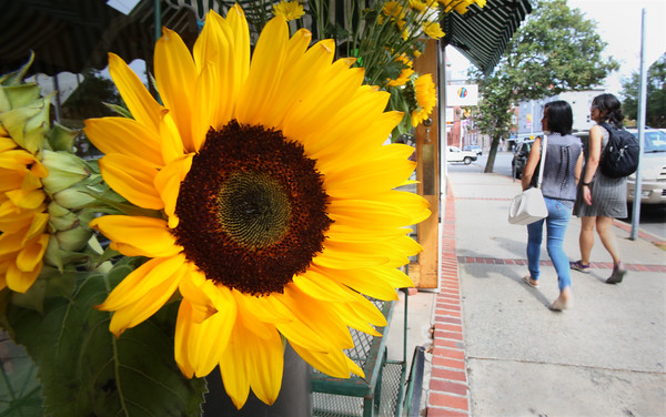 KEN YUSZKUS/Staff photo.  A sunflower on display and for sale brightens Cabot Street in Beverly.  9/20/16