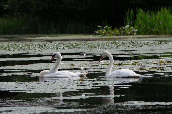 TIM JEAN/Staff photo<br /> <br /> Two swans search the waters for food just off a section of the Peabody Independence Greenway. The city has received a grant to move forward with a project to expand the trail to the downtown.   8/22/18