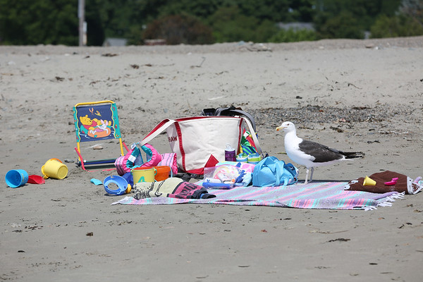 HADLEY GREEN/Staff photo<br /> A seagull lurks next to beach bags at Devereaux Beach in Marblehead. <br /> <br /> 07/31/2018