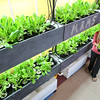 KEN YUSZKUS/Staff photo.     Miles River Middle School life skills teacher Danielle Petrucci examines one of the plants near the hydroponic grow wall where two types of lettuce, spartnut and dragon, are flourishing.    06/09/16