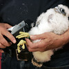 KEN YUSZKUS/Staff photo.   Massachusetts Division of Fisheries and Wildlife assistant director Thomas French attaches bands to one of three peregrine falcons.      06/08/16
