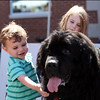 "DAVID LE/Staff photo. Two-year-old William Kurth, of Beverly, pets ""Henry"" a Newfoundland wandering around the Beverly Arts Fest with his owner Nick White. 6/18/16."