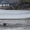 KEN YUSZKUS/Staff photo.    People dig the mud flats of Collins Cove in Salem.      05/12/16