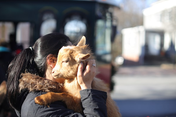 At Center Curch Kim Rossman from Animal Craze gives Blaze a baby goat a hug during the annual Holiday Stroll in Peabody, Saturday, November 24, 2018. Jared Charney / Photo