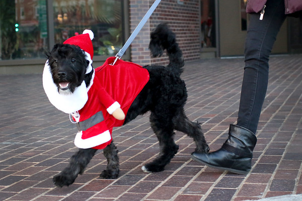 "HADLEY GREEN/Staff photo<br /> Gina Riddle's dog Tommy won first place in the ""Rein-Dog Parade"" at the annual Peabody Holiday Stroll in Peabody center.<br /> <br /> 11/25/17"