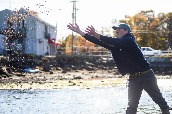 The Massachusetts Oyster Project is releasing this year's crop of oysters into the Little River