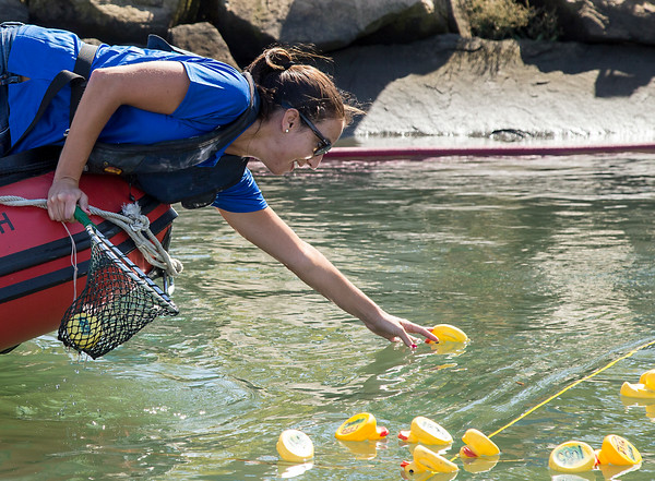 PARKER FISH/ Photo. Maria Kucinski reaches out to retrieve the first ducks to cross the finish line at the annual rubber duck race in Danvers. 9/17/16