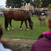 HADLEY GREEN/ Staff photo<br /> People watch farm animals during a demonstration at the Essex County Farmyard at the Topsfield Fair. <br /> <br /> 10/08/2018