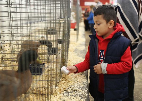 HADLEY GREEN/ Staff photo<br /> Jahaziel Galeano, 5, of Chelsea, feeds birds in the poultry barn at the Topsfield Fair. <br /> <br /> 10/08/2018