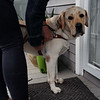 HADLEY GREEN/ Staff photo<br /> Allison Camire comes home from a walk with her guide dog, Kennedy, at her home in Beverly.<br /> <br /> 09/24/2018