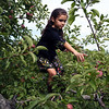 HADLEY GREEN/ Staff photo<br /> Saige Preston, 8, of Danvers, climbs onto a branch while picking apples at Brooksby Farm in Peabody.<br /> <br /> 09/17/2018