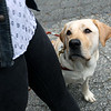 HADLEY GREEN/ Staff photo<br /> Kennedy, Allison Camire's guide dog, looks up at her as the two walk in Beverly. <br /> <br /> 09/24/2018