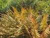Ferns turning color